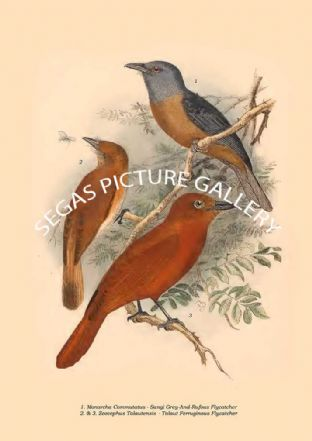 Monarcha Commutatus - Sangi Grey-And-Rufous Flycatcher, Zeocephus Talautensi